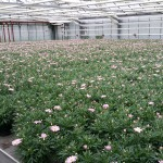 Argyranthemum-Lolly-perfekt-16-05-26 (1)