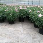 Argyranthemum-Lolly-perfekt-16-05-26 (4)