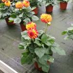 Dahlia-Pomponetta-Bicolor-Red-Yellow-16-05-13 (1)