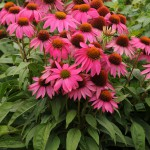 Echinacea PowWow Wildberry 01