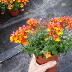 Nemesia Plus Little Orange
