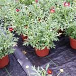 Argyranthemum Meteor Red
