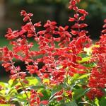 Salvia-GoGo-Scarlet