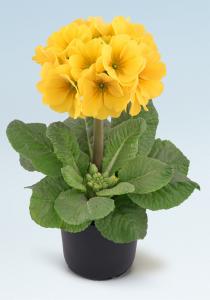 Sibel-Gelb-Zitrone